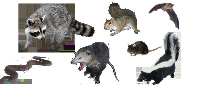 San Francisco Pest Animal Control Rat Opossum Squirrel
